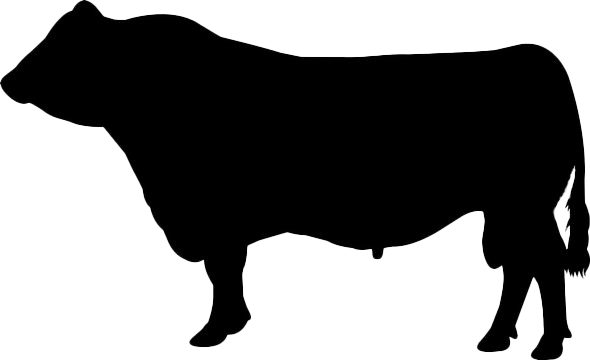 Cattle cow